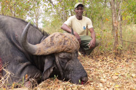 Tracker Gerald with one of Guy's Bulls