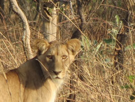 Young Lion on the Camaroon Savannah